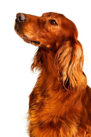 A dog setter is sitting.