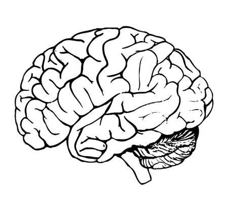 Human brain Stock Photo - 494891