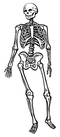 Human skeleton Stock Photo - 550653