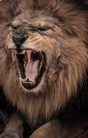angry lion: Close-up shot of roaring lion