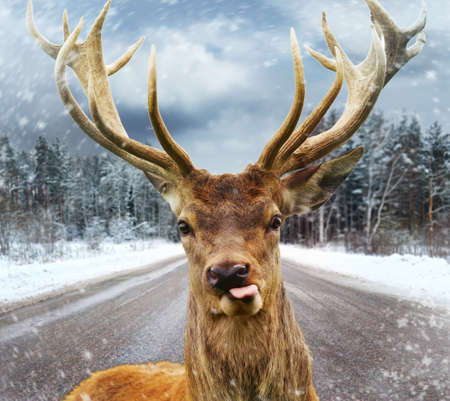 stag horn: Deer with beautiful big horns on a winter country road  Stock Photo