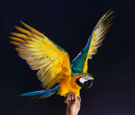 trained: Trained colourful parrot sitting on a human hand