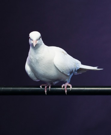 trained: Trained white dove sitting on a magicians stick