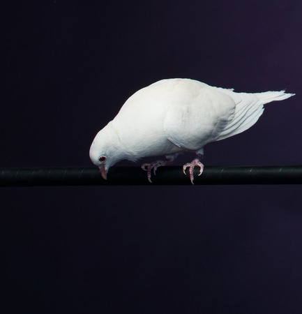 white pigeon: Trained white dove sitting on a magicians stick
