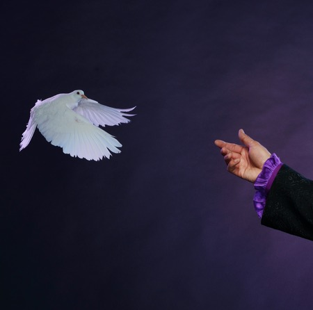 conjuror: Trained white dove flying to magician hand  Stock Photo