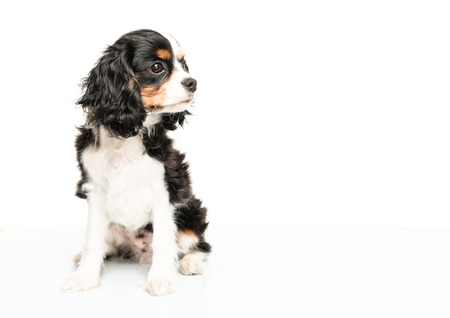 cavalier: Cavalier King Charles Spaniel isolated on white background
