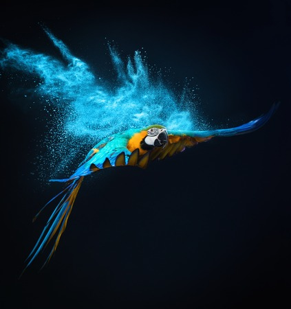 parrot flying: Flying Ara parrot over colourful powder explosion