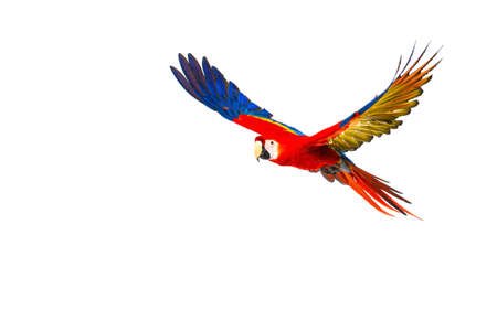 blue parrot: Colourful flying parrot isolated on white