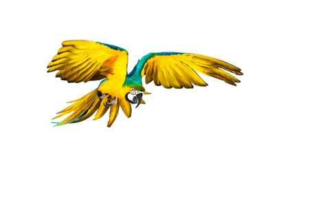 parrot flying: Colourful flying parrot isolated on white
