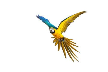 loro: Loro volar colorido aislado en blanco Foto de archivo