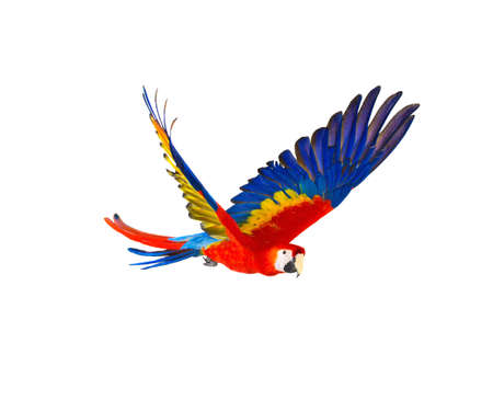 wild: Colourful flying parrot isolated on white