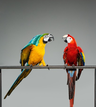 couple fight: Two colourful parrots fighting  on a perch Stock Photo