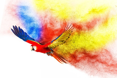 parrot tail: Colourful flying parrot isolated on white