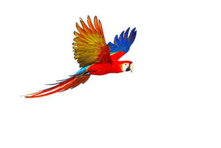tropical bird: Colourful flying parrot isolated on white
