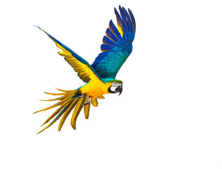 isolated on yellow: Colourful flying parrot isolated on white