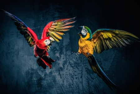 papagayo: Dos loros coloridos lucha Foto de archivo