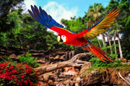 parrot tail: Colourful flying parrot in tropical landscape