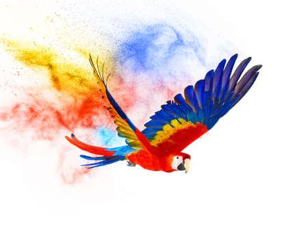 papagayo: Loro volar colorido aislado en blanco Foto de archivo