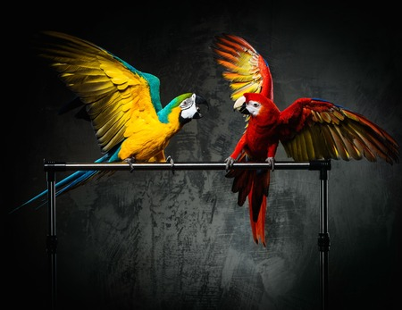 Two colourful parrots fighting photo