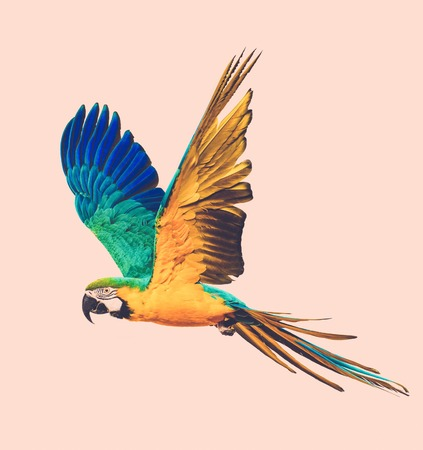 parrot flying: Colourful flying parrot toned Stock Photo