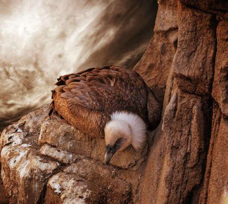 merlin falcon: Eagle sitting on a rock against stormy sky