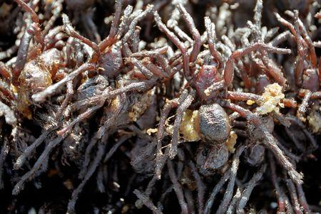 Fried arachnids - street food of Cambodia Stock Photo - 3933210