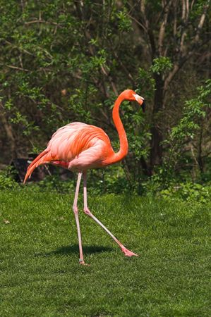 ciconiiformes: Flamingos are inhabitants of tropical and subtropical areas.