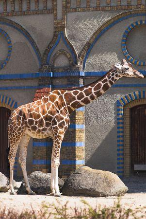 moresque: Giraffe standing against Moorish building, Berlin Zoo, Germany