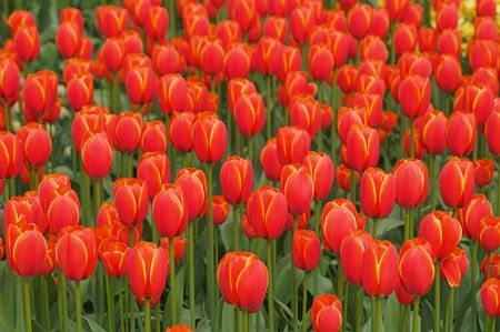 Nice flower-bed of  red-yellow tulips in Keukenhoff Gardens, Lisse, Netherlands. The Keukenhoff and the surrounding Bollenstreek tulip bulb fields have been the most popular Dutch spring destination.