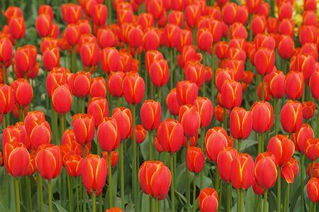 bloembollenvelden: Nice flower-bed van rood-gele tulpen in Keukenhoff Gardens, Lisse, Nederland. De Keukenhoff en de omliggende Bollenstreek tulp bollenvelden zijn de meest populaire Nederlandse voorjaar bestemming. Stockfoto