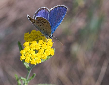 Blue butterfly gathering nectar on yellow flower Stock Photo - 442888