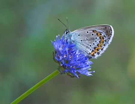 Blue butterfly gathering nectar on blue flower Stock Photo - 442890