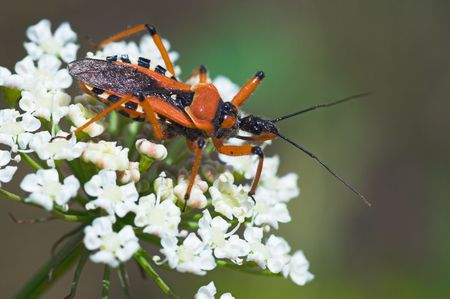 assasin: Close-up of orange assassin bug (Rhinocoris iracundus) waiting for its prey on white flower. This large bug captures its prey by stealth and its warning colours show that it is unpalatable to predators. Its bite may be painful since it has toxic saliva. C Stock Photo