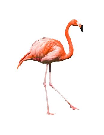 Dancing red caribbean flamingo  isolated on white background. Clipping path included Stock Photo