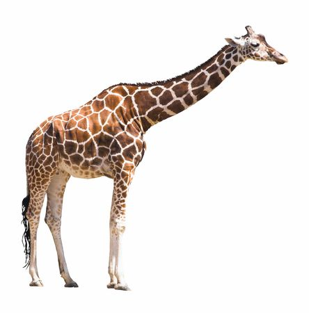 African giraffe isolated on white background. Clipping path included