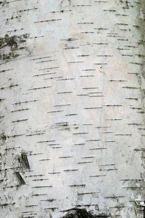 birch bark: Bark of White European Birch tree (Texture).