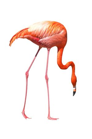 Red caribbean flamingo seeking the ground. Isolated over white. Clipping path included.
