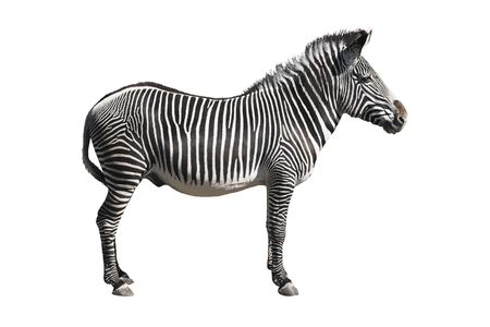 Grevys zebra isolated over white background. Clipping path included.