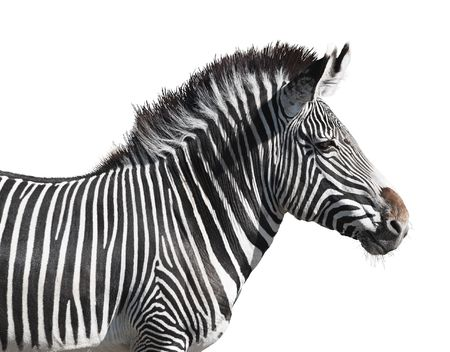 zebra head: Grevys zebra close-up isolated over white background. Clipping path included.