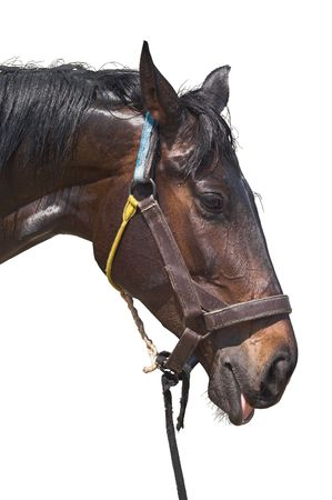 Wet sweaty head of exhausted horse isolated on white background. Clipping path included.