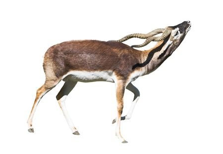 Indian Black Buck Antelope (Antelope cervicapra L.) isolated over white background. Also known as Kala Hiran. Clipping path included. photo