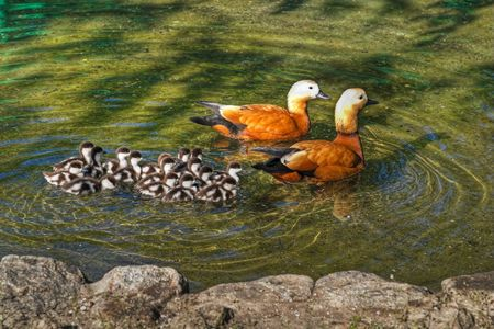 Roody shelduck family in pond photo