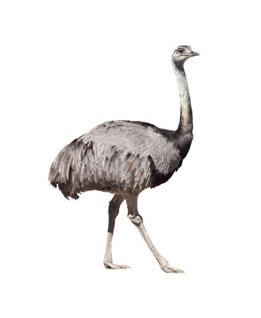Rhea americana isolated on white background. Clipping path included