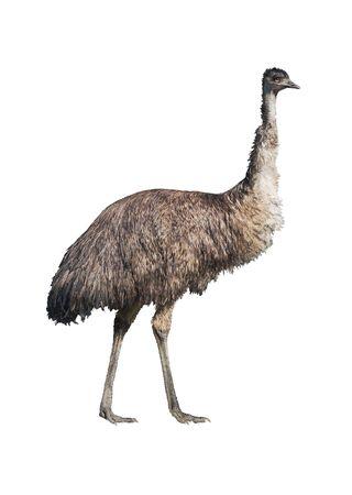 �meu: Emu (Dromaius novaehollandiae) isol� sur fond blanc. D�tourage inclus