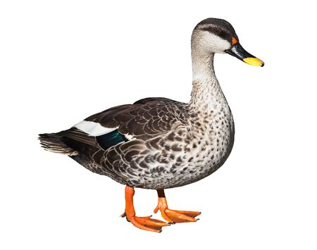 Male Spot-billed Duck (Anas poecilorhyncha) isolated on white. Clipping path included.