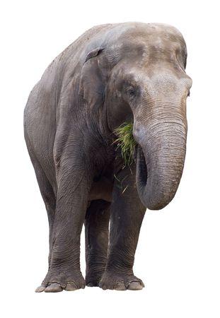 Elefante comiendo hierba aisladas sobre fondo blanco. Foto de archivo - 1848691