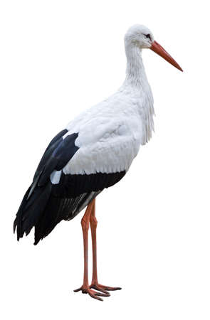 wade: White Stork bird (Ciconia ciconia) isolated over blank background