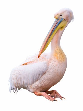 maternal: Great white pelican (Pelecanus onocrotalus) isolated on white background. Pelican is ancient symbol of maternal love.