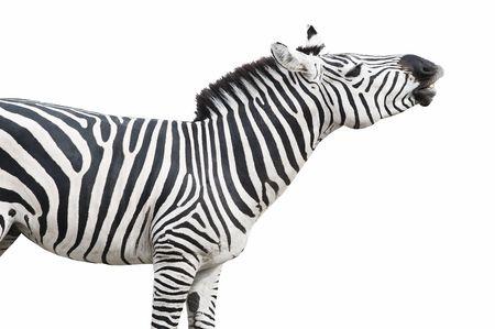 cebra: Com�n (Planuras o de Burchell) cebra parece cantar o re�r. Aislado sobre fondo blanco.