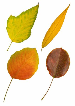 leafage: Four autumn leaves isolated on white background Stock Photo